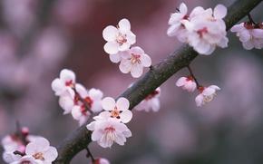 Wallpaper Sakura, Branch, Pink