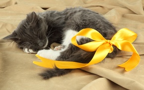 Picture cat, cat, stay, sleep, bow