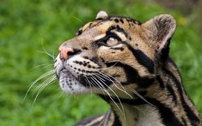 Picture cat, look, face, predator, clouded leopard