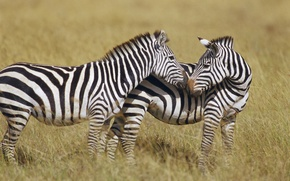 Picture strips, Zebra