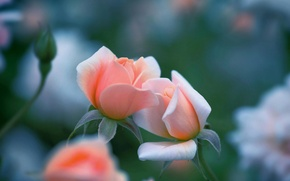 Picture macro, roses, Kiss me