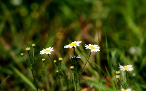 Picture greens, summer, grass, flowers, Chamomile