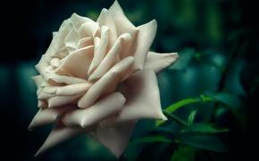 Wallpaper macro, bokeh, white rose