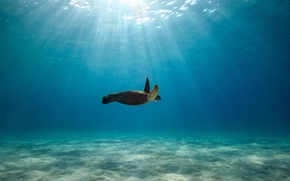 Picture wildlife, blue water, sunlight, the ocean, swimming, turtle