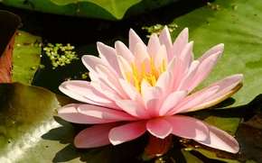 Picture flower, Water Lily, marsh plant, Nymphaeum