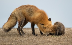 Picture nature, Red Fox, babies