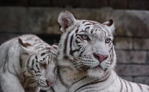 Picture cat, pair, kitty, white tiger, tigress, tiger