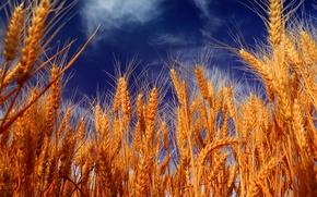 Picture the sky, clouds, yellow, harvest, ears, closeup