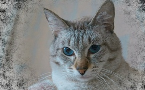 Picture eyes, cat, color, Thai, tabby point