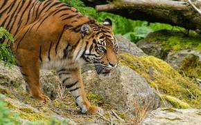 Picture cat, look, tiger, stones, moss, Sumatran
