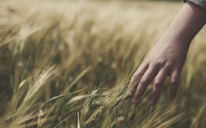 Picture wheat, field, grass, girl, mood, hand, hands, spikelets, girl, ears, spike