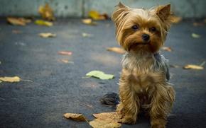 Picture asphalt, leaves, dog, doggie, Terrier, Yorkshire