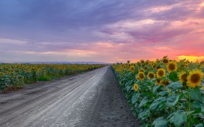 Picture road, sunflowers, sunset