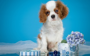 Picture flowers, background, box, blue, dog, puppy, fabric, cutie, photoshoot, hydrangea, glass, the cavalier king Charles …