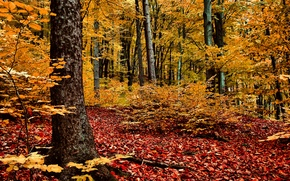 Picture autumn, forest, trees, red-yellow foliage