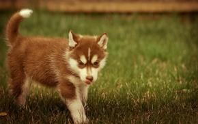 Picture grass, animal, puppy