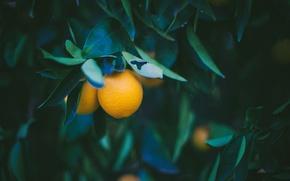 Wallpaper lemon, yellow, leaves