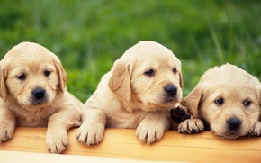 Picture Puppies, Labrador, 3 pieces, golden retriver