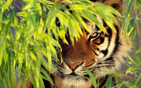 Picture face, tiger, foliage, is, looks, zanykal