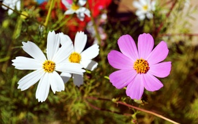Picture white, flower, pink