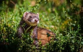 Picture grass, Freda, ferret