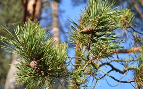 Picture forest, green, branch, pine