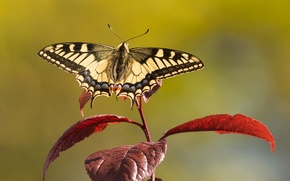 Picture leaves, butterfly, branch, swallowtail