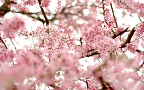Picture the sky, trees, flowers, branches, nature, cherry, branch, tenderness, beauty, spring, petals, blur, Sakura, pink, ...