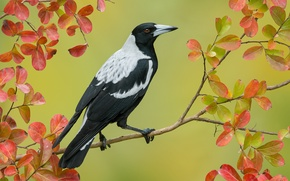 Picture branch, bird, Australian magpie, Cracticus tibicen, autumn, leaves