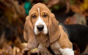 Picture autumn, dog, Basset