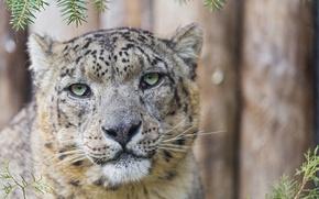 Picture cat, face, portrait, IRBIS, snow leopard, ©Tambako The Jaguar