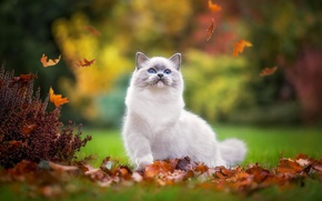 Picture autumn, cat, pose, Park, kitty, foliage, the game, fluffy, falling leaves, cutie, blue-eyed, foot, Bush, …