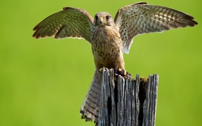 Picture bird, wings, predator