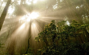 Picture forest, summer, rays, trees, nature, fog, photo, morning, the bushes