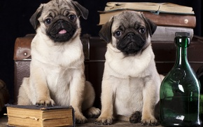 Picture dogs, books, suitcase, bottle, pugs