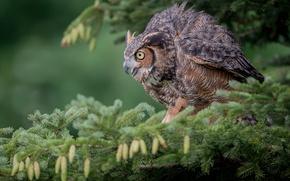 Wallpaper Virgin Filin, branch, spruce, bumps, bird, owl, owl