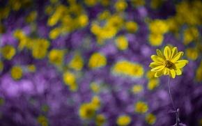 Picture flower, macro, yellow, Rosa, bokeh