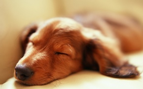 Picture sleeping, Dachshund