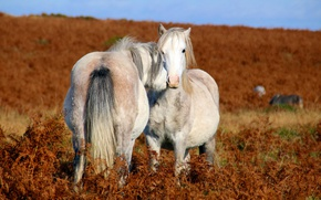 Picture love, field, horses, couple