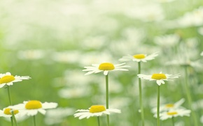Wallpaper greens, summer, grass, macro, flowers, nature, glade, color, chamomile, plants, petals, white, bright, flowering