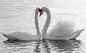 Picture water, Swan, Mute