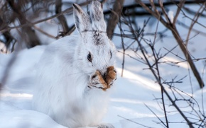 Picture winter, snow, hare