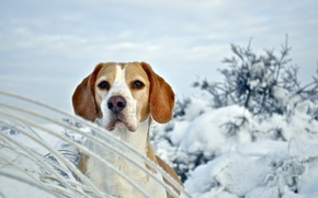 Picture winter, dog, Beagle