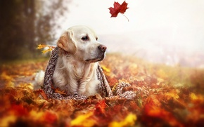 Picture autumn, leaves, nature, dog, scarf, Golden Retriever