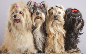 Picture Quartet, clips, The Havanese