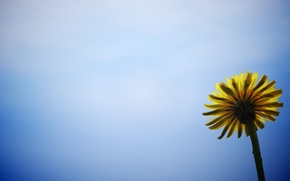 Picture flower, flowers, yellow, background, blue, widescreen, Wallpaper, wallpaper, widescreen, background, full screen, HD wallpapers, flower, …