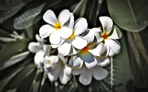 Picture Flowers, Thailand, Phuket