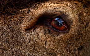 Picture eye, deer, close up