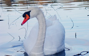 Picture white, look, water, drops, branches, red, black, blue, bird, beak, Swan, neck, pond, tail, mute …