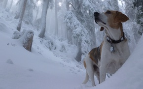 Picture winter, forest, snow, dog, the snow, Beagle